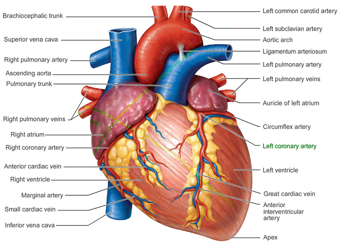 Science Break Heart Attacks June 2016 Cseg Recorder This Diagram Shows The Muscles In Of A Human